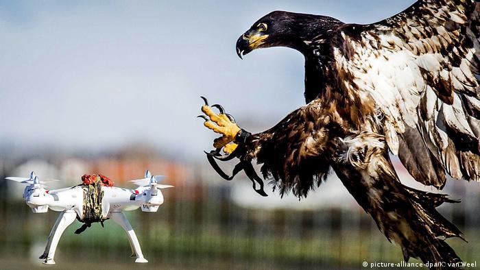 Anti Drohnen Greifvogel Niederländische Polizei (picture-alliance-dpa/K. van Weel)