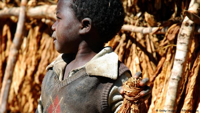 Child farmer gathering tobacco leaves in Malawi