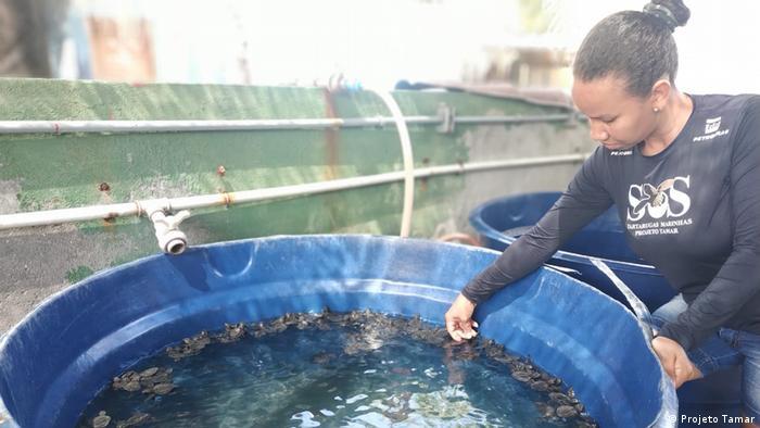 Filhotes de tartarugas marinhas num tanque com água no Projeto Tamar