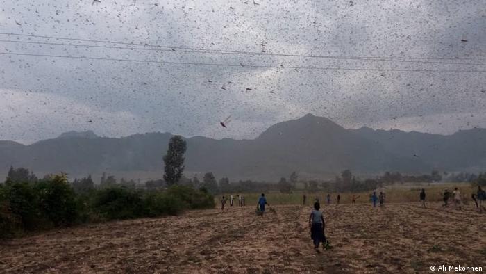 Heuschreckenplage in Äthiopien (Ali Mekonnen)
