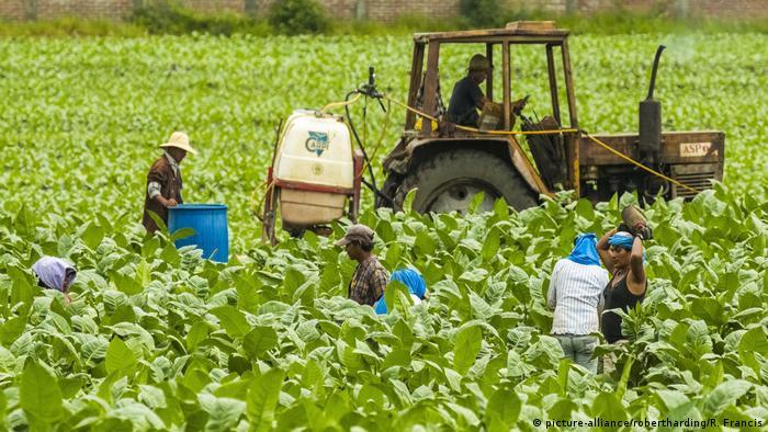 Nicaragua Arbeiter auf Tabakfeld