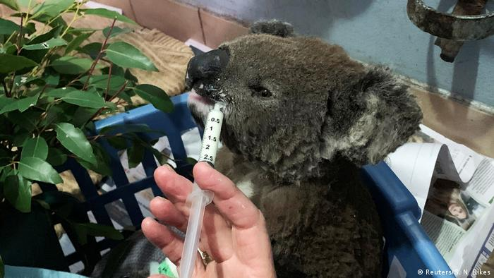 Waldbrände in Australien | Verletzter Koala