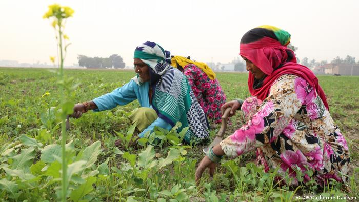 Women work in a pea field which uses crop rotations to improve soil health near Karnal, Haryana (DW/Catherine Davison)