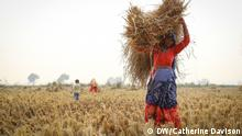 Indian woman dressed in bright red and purple carrying crops from field (DW/Catherine Davison)