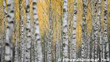 Herbst in Deutschland - 2019 Birken tragen gelbes Herbstkleid