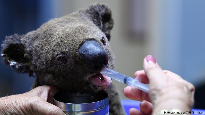 Buschbrände in Australien: IFAW pflegt verletzte Tiere (Getty Images/AFP/S. Khan)