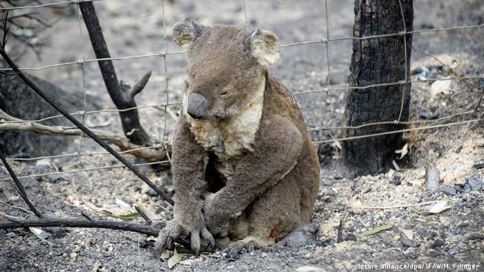 Buschbrände in Australien: IFAW pflegt verletzte Tiere (picture-alliance/dpa/ IFAW/M. Filinger )