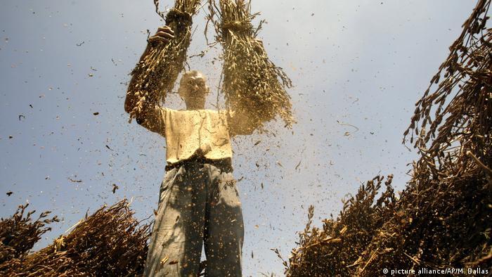 Sesam l Pelästinensischer Bauer bei der Sesamernte (picture alliance/AP/M. Ballas)