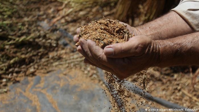 Sesam l Pelästinensischer Bauer bei der Sesamernte (picture-alliance/Xinhua/N. Eshtayeh)