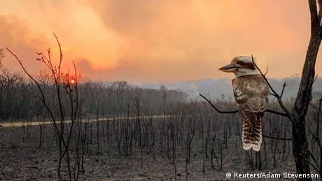 Požari bijesne u istočnoj Australiji. Ova ptica to može samo da gleda. Ona je iz porodice vodomara i ima mnoga imena: Kukubara u Australiji, a Jegerlist ili Nasmijani Hans u Njemačkoj. Možda bi prikladnije bilo ovog nazvati Rasplakani Hans.