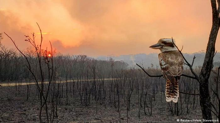 A kookaburra perches on a branch in a fire-ravaged forest.