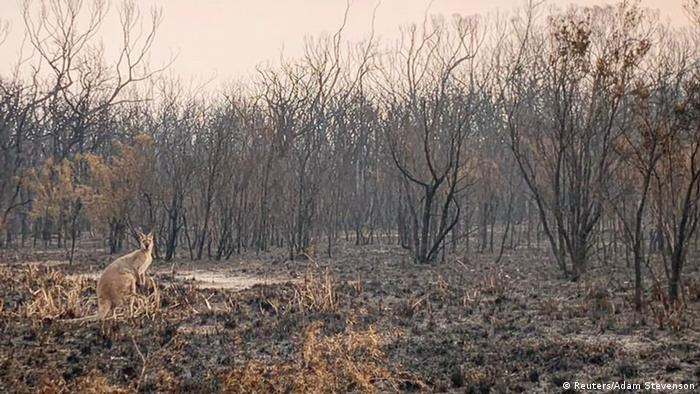 A kangaroo stands in a charred forest.