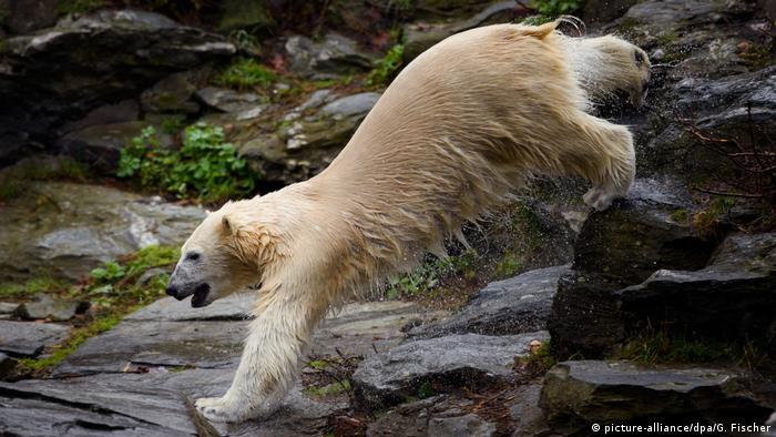 Белая медведица Герта