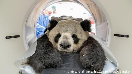BdT Gesundheitscheck bei Jiao Qing aus dem Zoo Berlin (picture-alliance/dpa/Zoo Berlin/IZW/Günther)