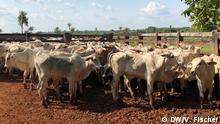 Brasilien steht wegen anhaltender Abholzung in Amazonen immer wieder im Brennpunkt. 80 Prozent des Einschlags gehen auf das Konto von Rindern. Um hier gegenzusteuern gibt es den Versuch, die degradierten Farmen zu reformieren und so mehr Rinder auf weniger Fläche halten zu können. Schlagworte: Global Ideas, Umwelt, Abholzung, Amazonen, Landwirtschaft, Rindzucht Urheber: Vanessa Fischer / DW Ort / Zeit: Brasilien / Oktober 2019