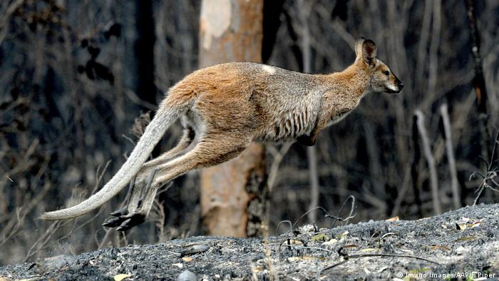A kangaroo searches for food after wildfires in November (Imago Images/AAP/J. Piper)