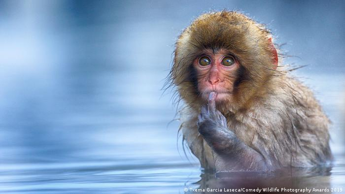 A snow monkey baths in thermal water