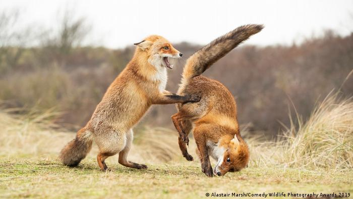 One red fox turns the other over, only to get a tail-end view