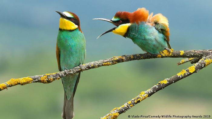 Two colorful birds perched on a branch, one yells at the other
