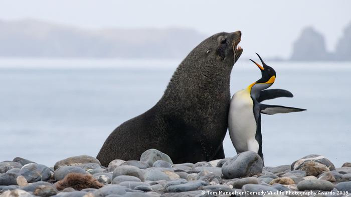 A king penguin and antarctic fur seal argue as they bump chests
