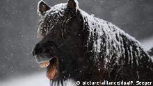 18.11.2019, Baden-Württemberg, Feldberg im Schwarzwald: Ein Pferd steht mit Schnee auf einer Wiese und streckt die Zunge heraus. Foto: Patrick Seeger/dpa | Verwendung weltweit