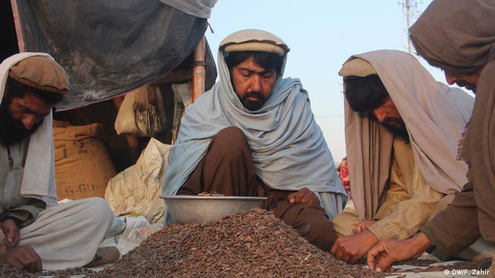 Pinienkern-Ernte in Afghanistan