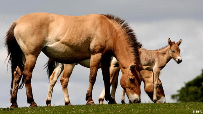 Przewalski Pferde (DPA)