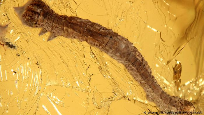 A caterpillar preserved in amber