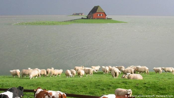 A house on a tiny patch of green land surrounded by water. Sheep gathered on another patch of land at the far side of the water