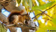 Iran Eichhörnchen