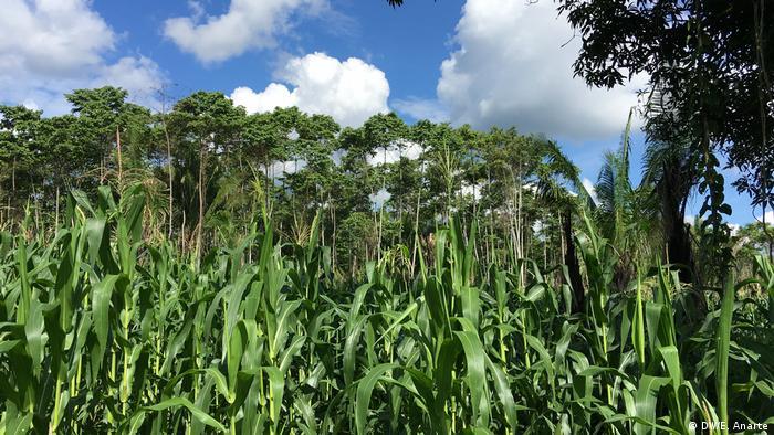 Todos los habitantes de Santa Clara de Uchunya tienen derecho a cultivar una chacra (parcela) dentro de las tierras comunales.