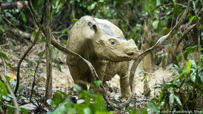 Sumatran rhinoceros (picture-alliance/dpa/K. Siren)