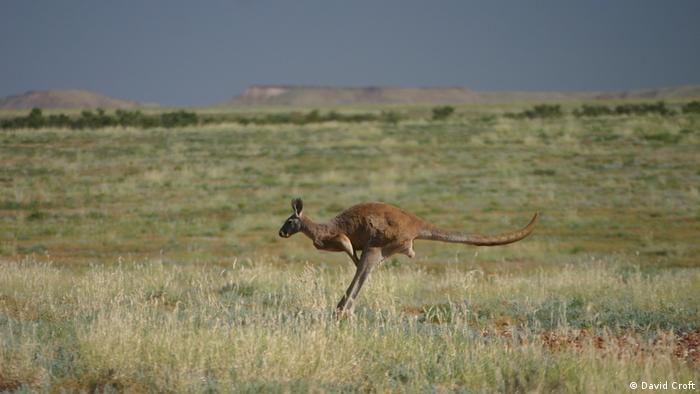 Rotes Känguru hüpft