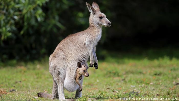 Canguro con bebé canguro en su bolsa.
