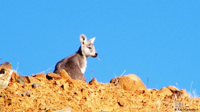 Wallaroo sitting on top of rocks