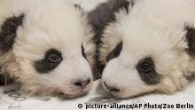 The baby pandas seen in November
