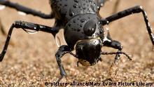 Nebeltrinkerkäfer | Stenocara gracilipes | Namib Desert beetle