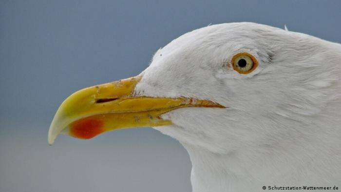 Face of a gull, with red marking on its yellow beak