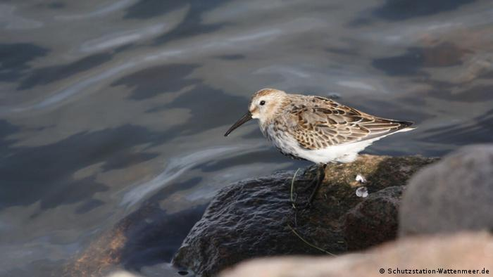 Little brown speckled bird on a rock by the edge of the water