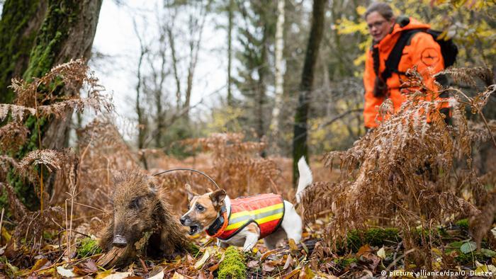 W wytropieniu martwych dzików pomagają specjalnie wyszkolone psy, na zdjęciu suka Nelly szuka padliny w lasach Kraju Saary
