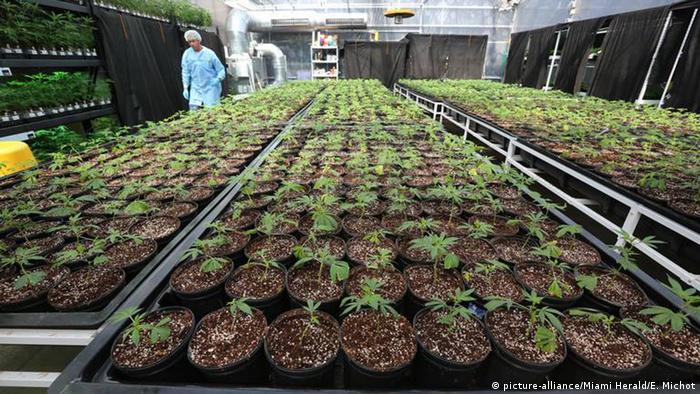 Marihuana-Plantage in Gewächshaus (picture-alliance/Miami Herald/E. Michot)