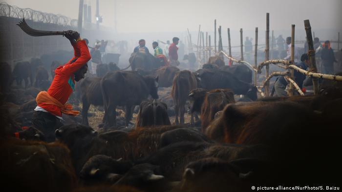 Nepal Gadhimai Festival in Kathmandu | Vorbereitung Tötung von Büffeln