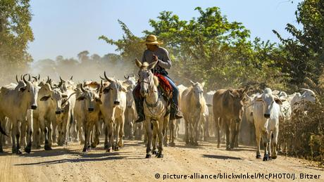 Brazilian cattle drive with cows (picture-alliance/blickwinkel/McPHOTO/J. Bitzer)