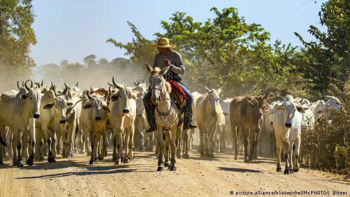 Brasilien Herde Nelore-Rind, Nelorerind | Bos indicus (picture-alliance/blickwinkel/McPHOTO/J. Bitzer)