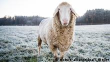 06.12.2019, Baden-Württemberg, Notzingen: Ein Schaf steht auf einer Wiese, welche mit Raureif bedeckt ist. Foto: Tom Weller/dpa +++ dpa-Bildfunk +++   Verwendung weltweit