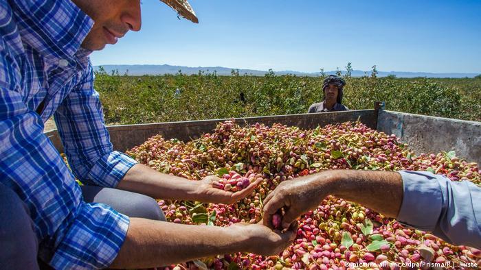 Iran - Kerman   A farmer sifts through pistachios