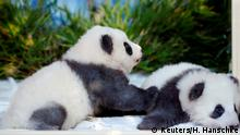 Panda cubs Meng Yuan and Meng Xiang are seen during a news conference to announce their names at the Berlin Zoo in Berlin, Germany, December 9, 2019. REUTERS/Hannibal Hanschke