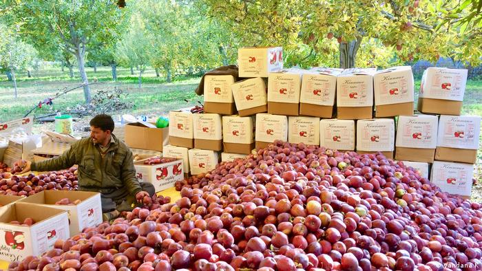 Worker in Kalpa India with apples