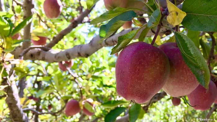 Healthy apples on orchard in India