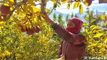 Indien | Äpfelfarm in Kapla Nepali migrant woman harvesting apples in Kapla